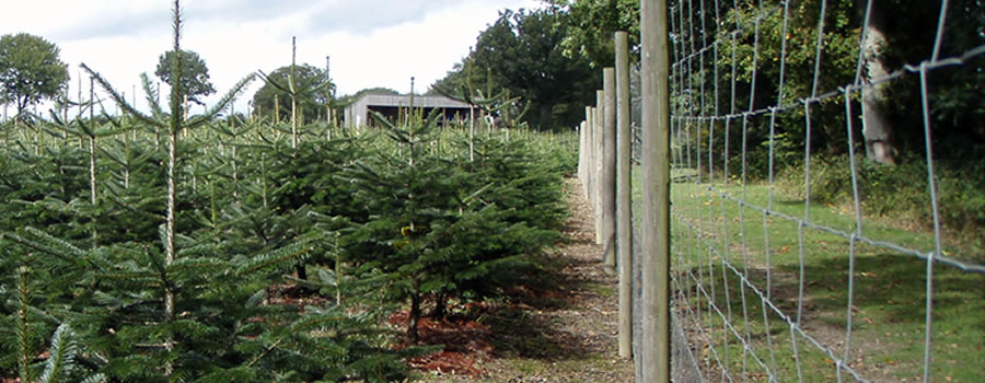 Xmas Trees at our plantation in Slinfold.